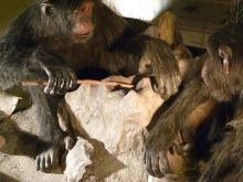 チンパンジー画像